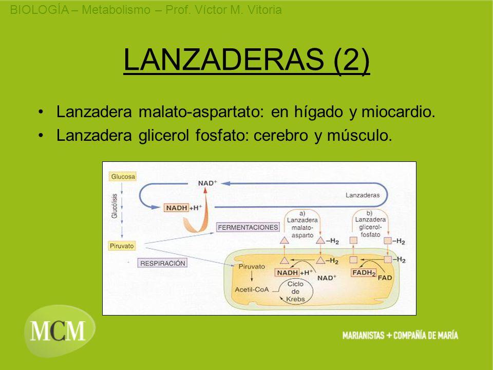 BIOLOGÍA – Metabolismo – Prof. Víctor M. Vitoria LANZADERAS (2) Lanzadera malato-aspartato: en hígado y miocardio. Lanzadera glicerol fosfato: cerebro