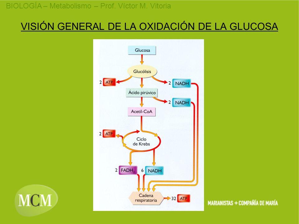 BIOLOGÍA – Metabolismo – Prof. Víctor M. Vitoria VISIÓN GENERAL DE LA OXIDACIÓN DE LA GLUCOSA