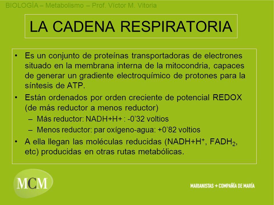 BIOLOGÍA – Metabolismo – Prof. Víctor M. Vitoria LA CADENA RESPIRATORIA Es un conjunto de proteínas transportadoras de electrones situado en la membra