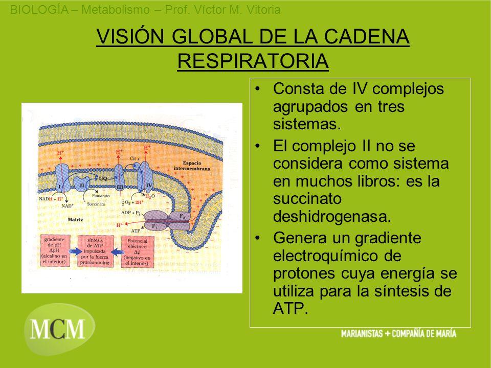 BIOLOGÍA – Metabolismo – Prof. Víctor M. Vitoria VISIÓN GLOBAL DE LA CADENA RESPIRATORIA Consta de IV complejos agrupados en tres sistemas. El complej