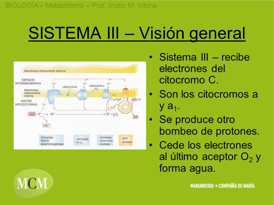 BIOLOGÍA – Metabolismo – Prof. Víctor M. Vitoria SISTEMA III – Visión general Sistema III – recibe electrones del citocromo C. Son los citocromos a y