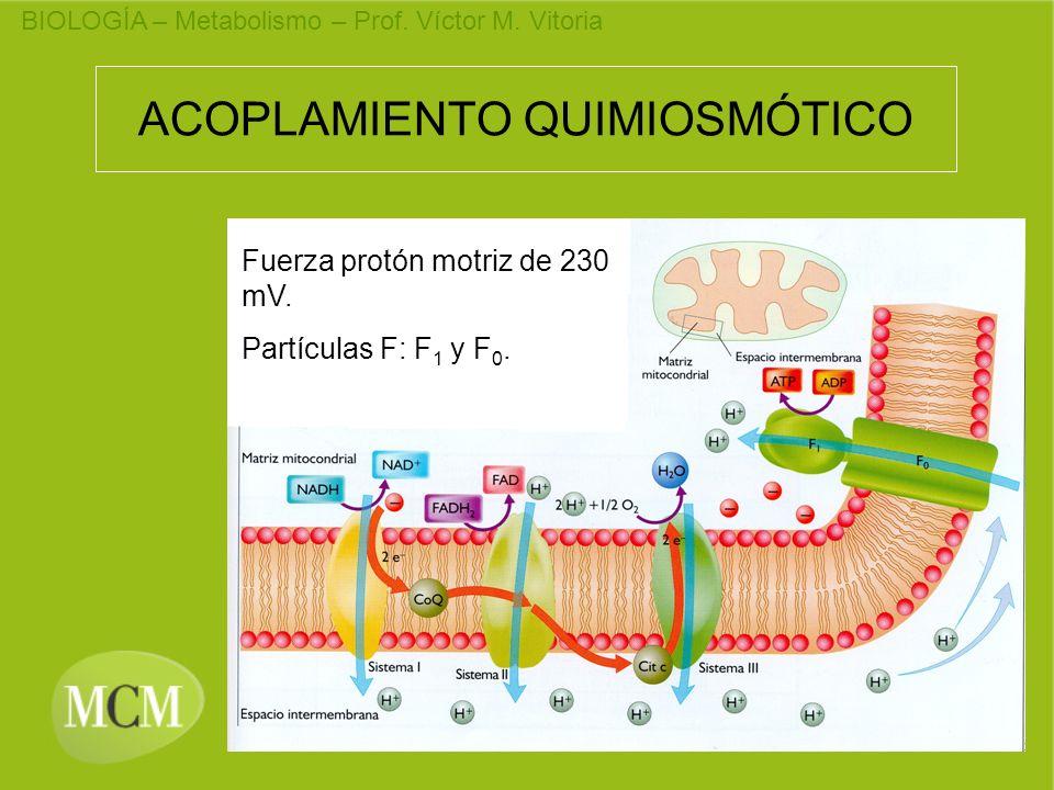 BIOLOGÍA – Metabolismo – Prof. Víctor M. Vitoria ACOPLAMIENTO QUIMIOSMÓTICO Fuerza protón motriz de 230 mV. Partículas F: F 1 y F 0.