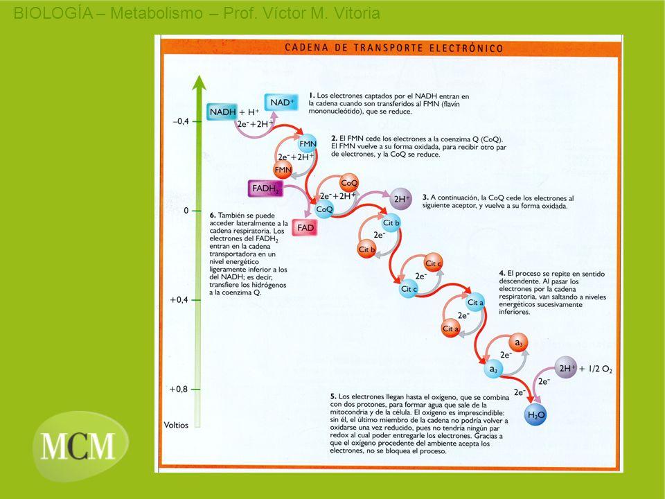 LANZADERAS (1) LANZADERA GLICEROL FOSFATO LANZADERA MALATO ASPARTATO