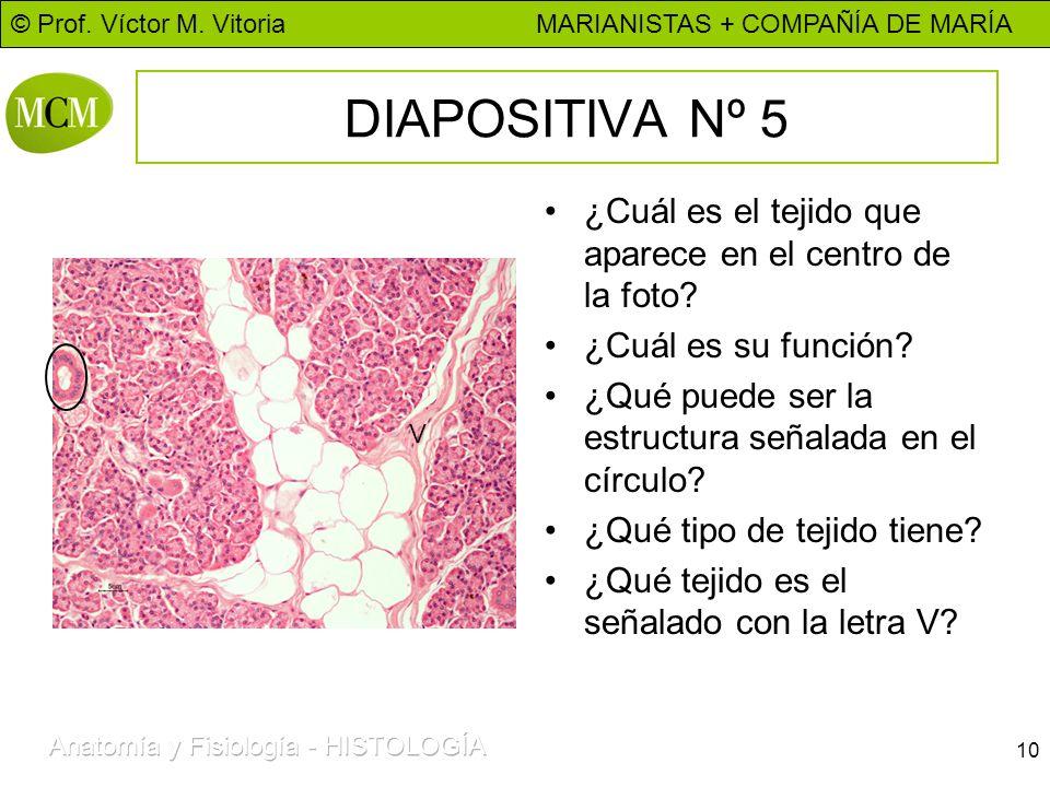 © Prof. Víctor M. Vitoria MARIANISTAS + COMPAÑÍA DE MARÍA 10 DIAPOSITIVA Nº 5 ¿Cuál es el tejido que aparece en el centro de la foto? ¿Cuál es su func