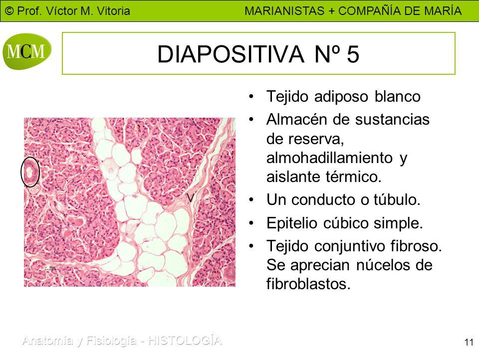 © Prof. Víctor M. Vitoria MARIANISTAS + COMPAÑÍA DE MARÍA 11 DIAPOSITIVA Nº 5 Tejido adiposo blanco Almacén de sustancias de reserva, almohadillamient