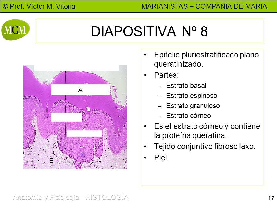 © Prof. Víctor M. Vitoria MARIANISTAS + COMPAÑÍA DE MARÍA 17 DIAPOSITIVA Nº 8 Epitelio pluriestratificado plano queratinizado. Partes: –Estrato basal