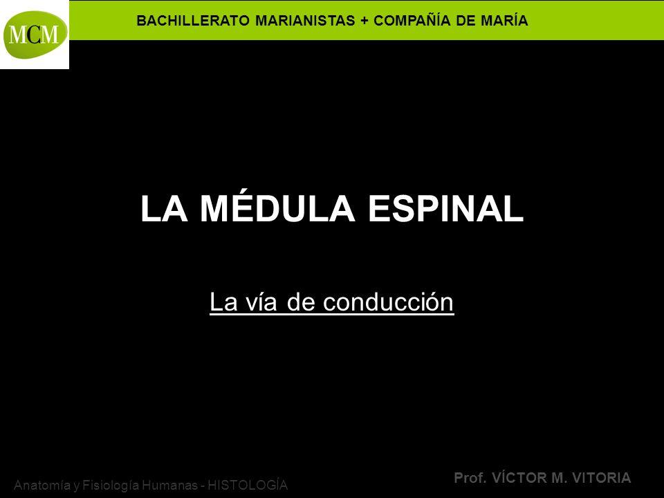 BACHILLERATO MARIANISTAS + COMPAÑÍA DE MARÍA Prof. VÍCTOR M. VITORIA Anatomía y Fisiología Humanas - HISTOLOGÍA LA MÉDULA ESPINAL La vía de conducción