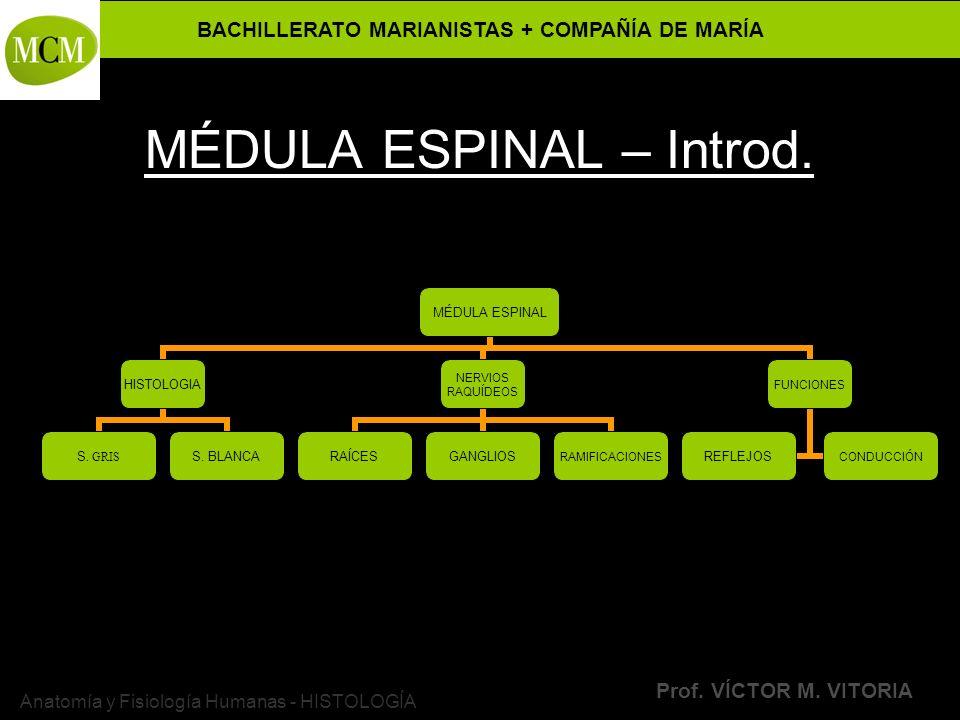 BACHILLERATO MARIANISTAS + COMPAÑÍA DE MARÍA Prof. VÍCTOR M. VITORIA Anatomía y Fisiología Humanas - HISTOLOGÍA MÉDULA ESPINAL – Introd. MÉDULA ESPINA