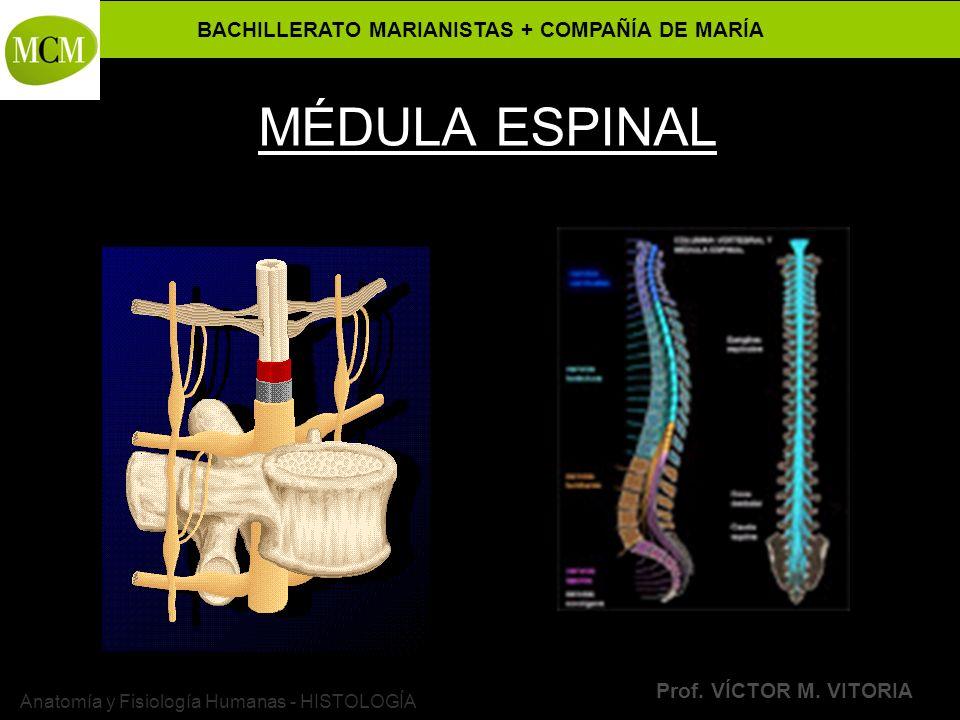 BACHILLERATO MARIANISTAS + COMPAÑÍA DE MARÍA Prof. VÍCTOR M. VITORIA Anatomía y Fisiología Humanas - HISTOLOGÍA MÉDULA ESPINAL