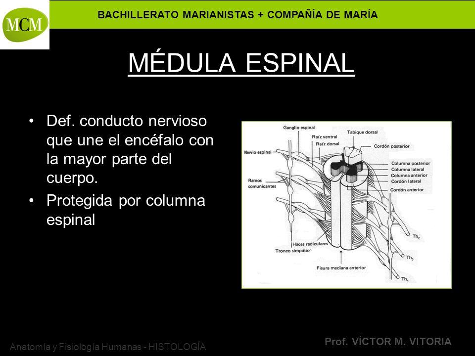 BACHILLERATO MARIANISTAS + COMPAÑÍA DE MARÍA Prof. VÍCTOR M. VITORIA Anatomía y Fisiología Humanas - HISTOLOGÍA MÉDULA ESPINAL Def. conducto nervioso
