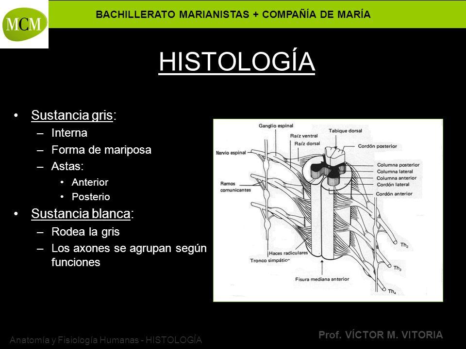 BACHILLERATO MARIANISTAS + COMPAÑÍA DE MARÍA Prof. VÍCTOR M. VITORIA Anatomía y Fisiología Humanas - HISTOLOGÍA HISTOLOGÍA Sustancia gris: –Interna –F