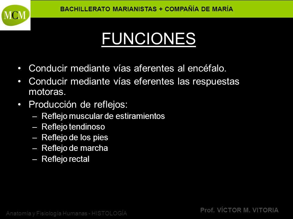 BACHILLERATO MARIANISTAS + COMPAÑÍA DE MARÍA Prof. VÍCTOR M. VITORIA Anatomía y Fisiología Humanas - HISTOLOGÍA FUNCIONES Conducir mediante vías afere