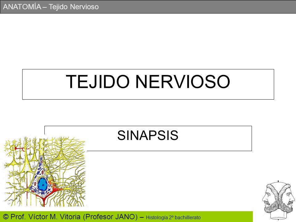 ANATOMÍA – Tejido Nervioso © Prof. Víctor M. Vitoria (Profesor JANO) – Histología 2º bachillerato TEJIDO NERVIOSO SINAPSIS
