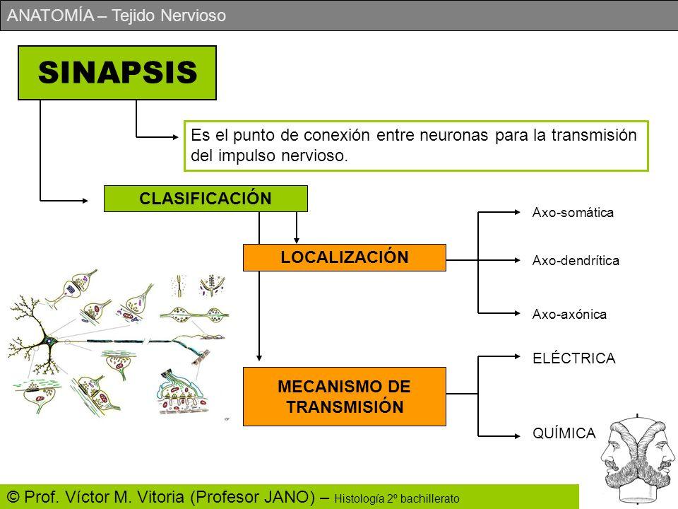 ANATOMÍA – Tejido Nervioso © Prof. Víctor M. Vitoria (Profesor JANO) – Histología 2º bachillerato SINAPSIS Es el punto de conexión entre neuronas para