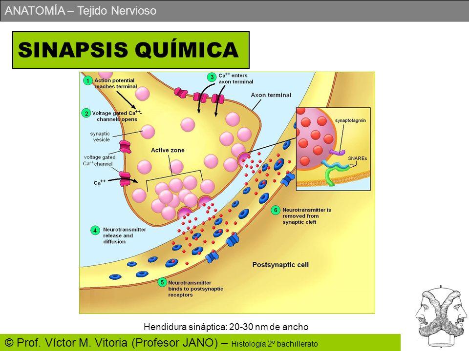 ANATOMÍA – Tejido Nervioso © Prof. Víctor M. Vitoria (Profesor JANO) – Histología 2º bachillerato SINAPSIS QUÍMICA Hendidura sináptica: 20-30 nm de an