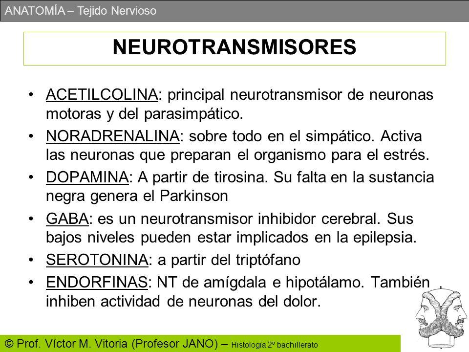 ANATOMÍA – Tejido Nervioso © Prof. Víctor M. Vitoria (Profesor JANO) – Histología 2º bachillerato NEUROTRANSMISORES ACETILCOLINA: principal neurotrans