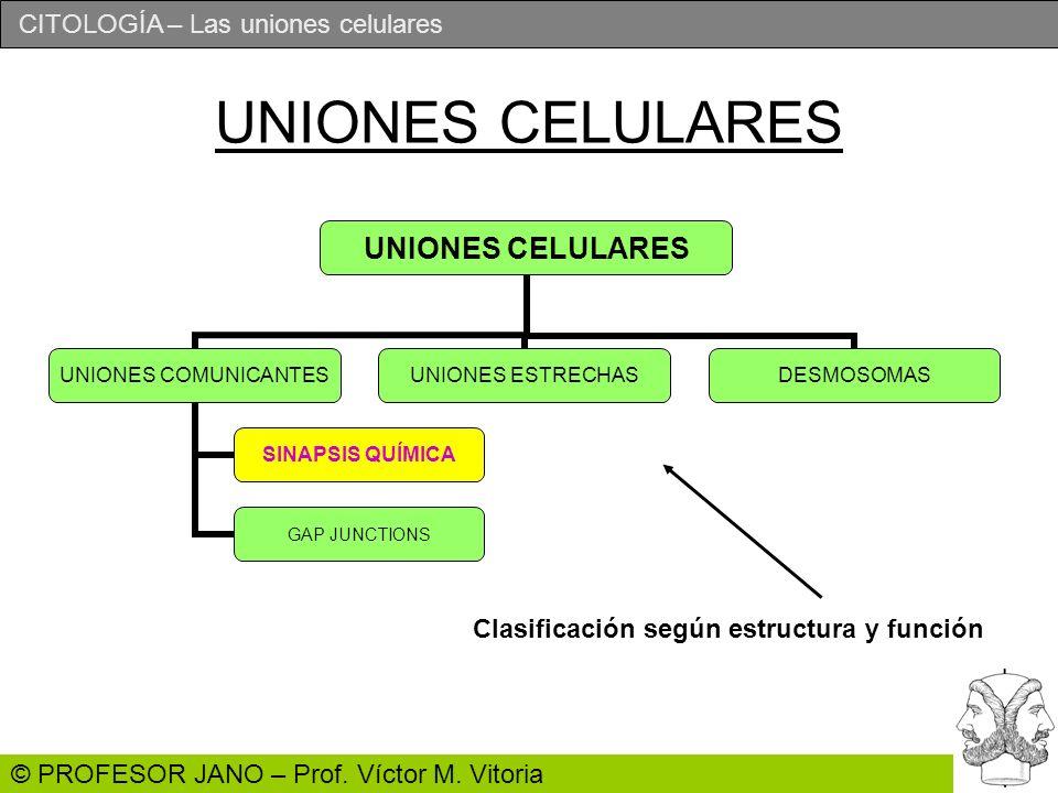 CITOLOGÍA – Las uniones celulares © PROFESOR JANO – Prof.