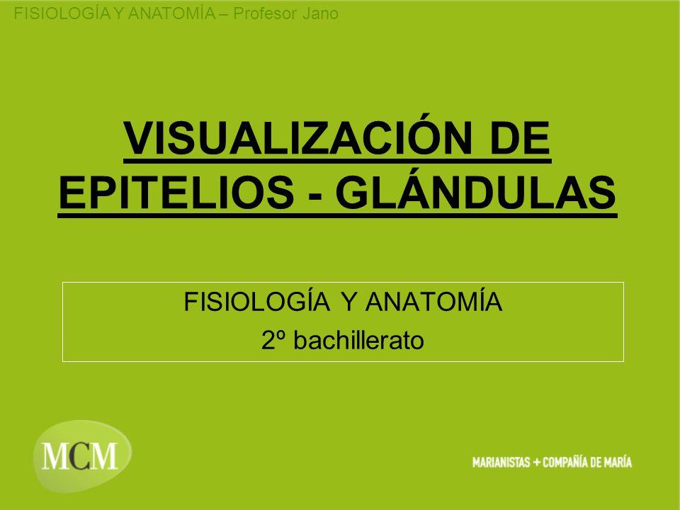 FISIOLOGÍA Y ANATOMÍA – Profesor Jano VISUALIZACIÓN DE EPITELIOS - GLÁNDULAS FISIOLOGÍA Y ANATOMÍA 2º bachillerato