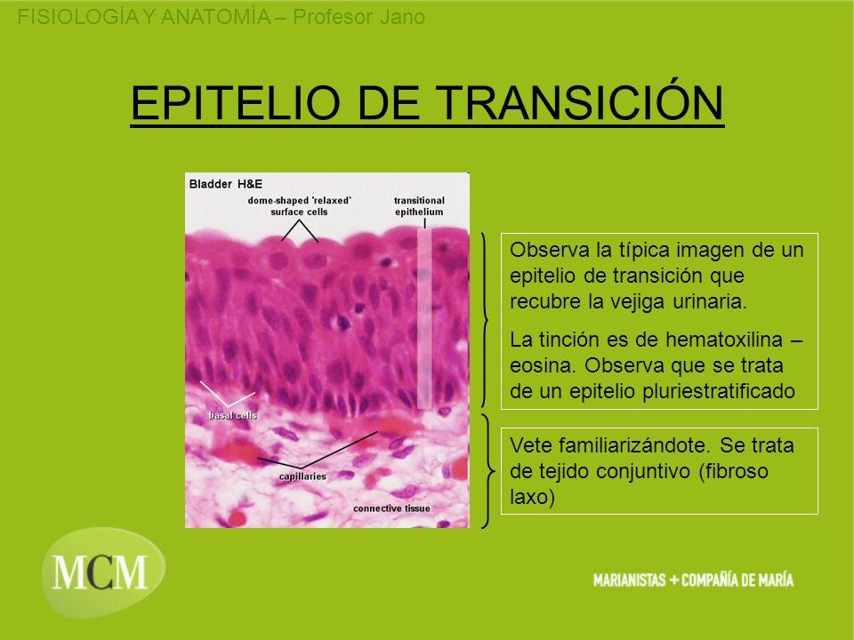 FISIOLOGÍA Y ANATOMÍA – Profesor Jano EPITELIO DE TRANSICIÓN Observa la típica imagen de un epitelio de transición que recubre la vejiga urinaria. La