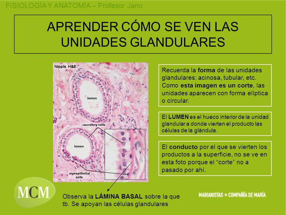 FISIOLOGÍA Y ANATOMÍA – Profesor Jano APRENDER CÓMO SE VEN LAS UNIDADES GLANDULARES Recuerda la forma de las unidades glandulares: acinosa, tubular, e