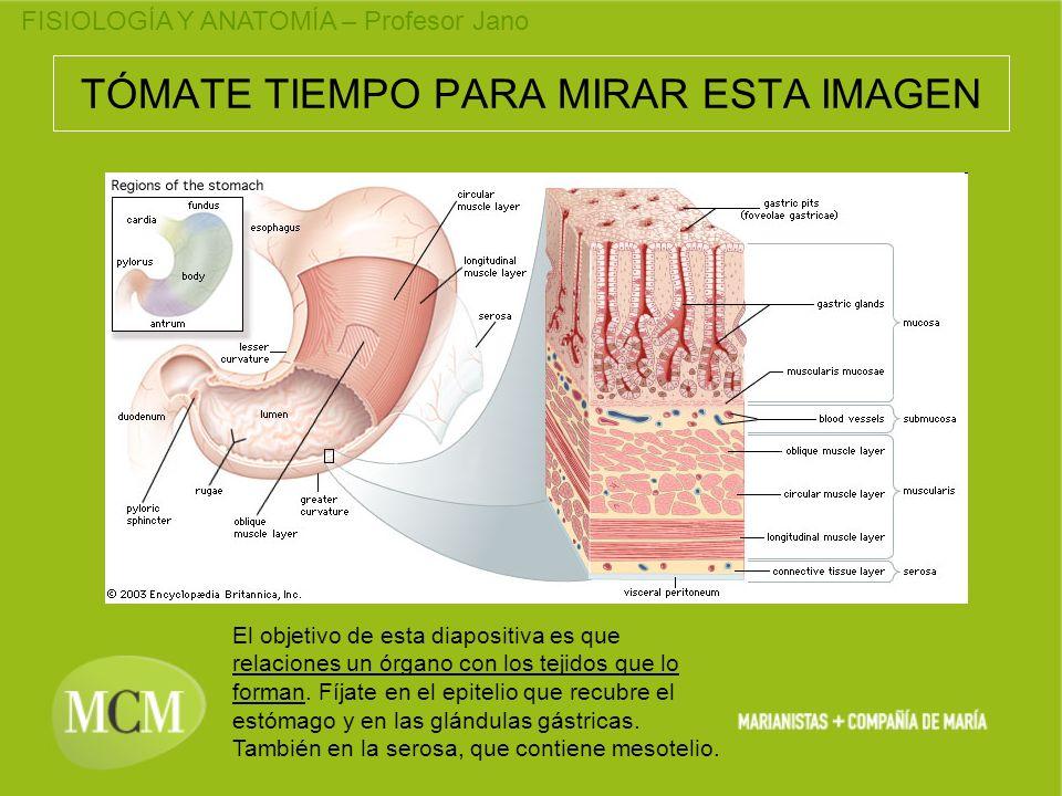 FISIOLOGÍA Y ANATOMÍA – Profesor Jano TÓMATE TIEMPO PARA MIRAR ESTA IMAGEN El objetivo de esta diapositiva es que relaciones un órgano con los tejidos