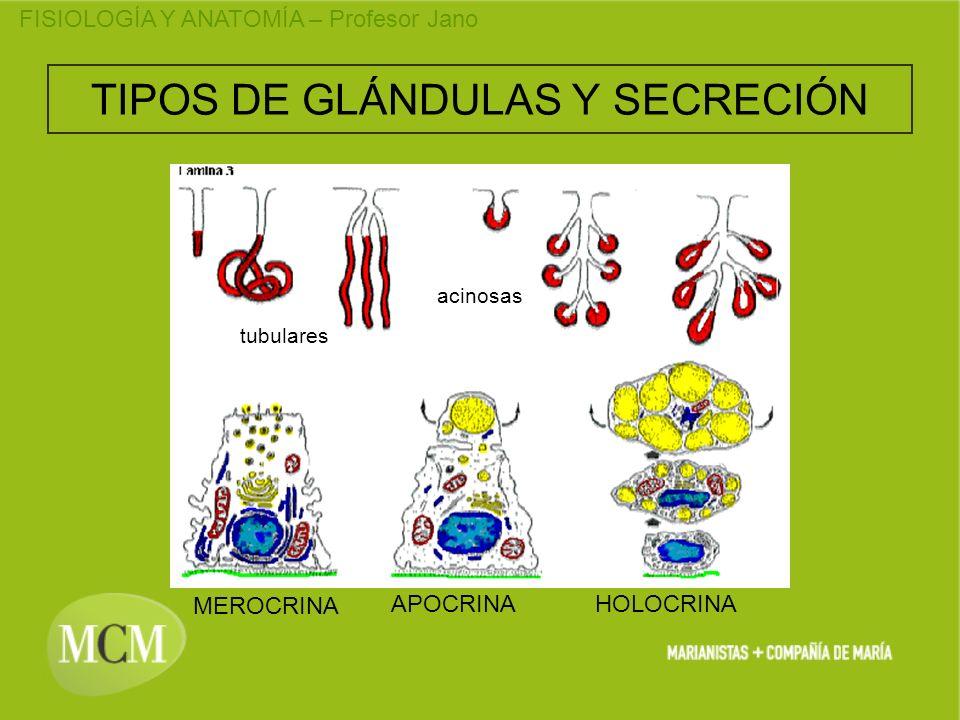 FISIOLOGÍA Y ANATOMÍA – Profesor Jano TIPOS DE GLÁNDULAS Y SECRECIÓN MEROCRINA HOLOCRINAAPOCRINA tubulares acinosas