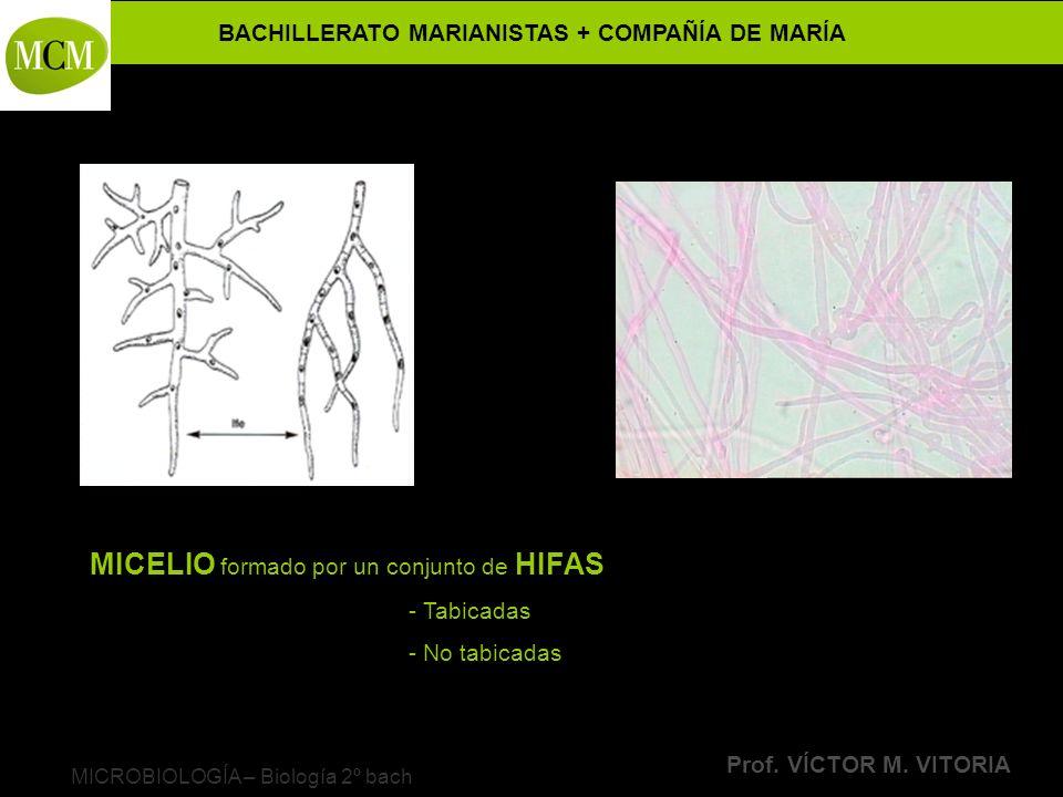 BACHILLERATO MARIANISTAS + COMPAÑÍA DE MARÍA Prof. VÍCTOR M. VITORIA MICROBIOLOGÍA – Biología 2º bach MICELIO formado por un conjunto de HIFAS - Tabic
