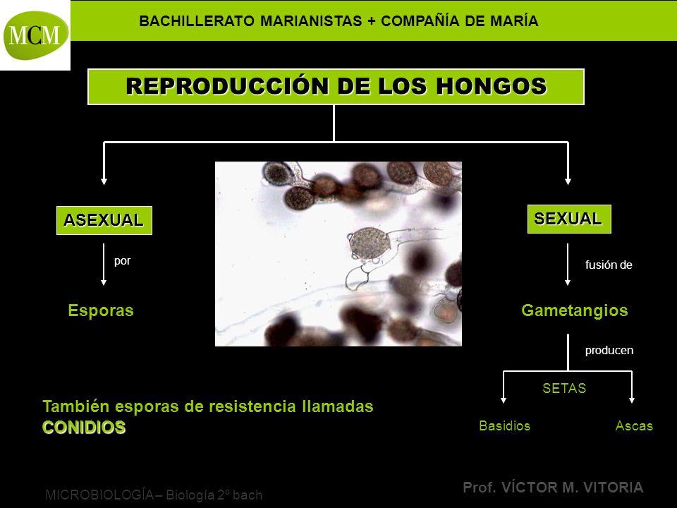 BACHILLERATO MARIANISTAS + COMPAÑÍA DE MARÍA Prof. VÍCTOR M. VITORIA MICROBIOLOGÍA – Biología 2º bach REPRODUCCIÓN DE LOS HONGOS ASEXUAL SEXUAL Espora
