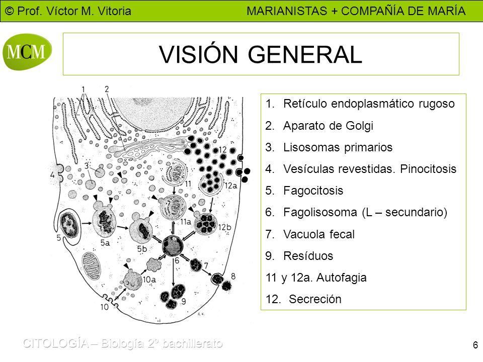 © Prof. Víctor M. Vitoria MARIANISTAS + COMPAÑÍA DE MARÍA 6 VISIÓN GENERAL 1.Retículo endoplasmático rugoso 2.Aparato de Golgi 3.Lisosomas primarios 4
