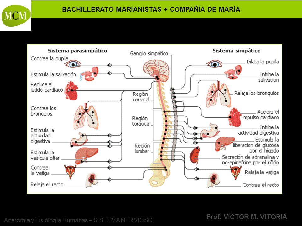 BACHILLERATO MARIANISTAS + COMPAÑÍA DE MARÍA Prof. VÍCTOR M. VITORIA Anatomía y Fisiología Humanas – SISTEMA NERVIOSO
