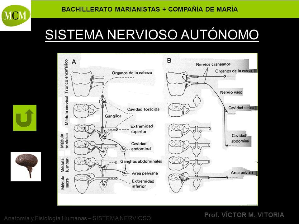 BACHILLERATO MARIANISTAS + COMPAÑÍA DE MARÍA Prof. VÍCTOR M. VITORIA Anatomía y Fisiología Humanas – SISTEMA NERVIOSO SISTEMA NERVIOSO AUTÓNOMO
