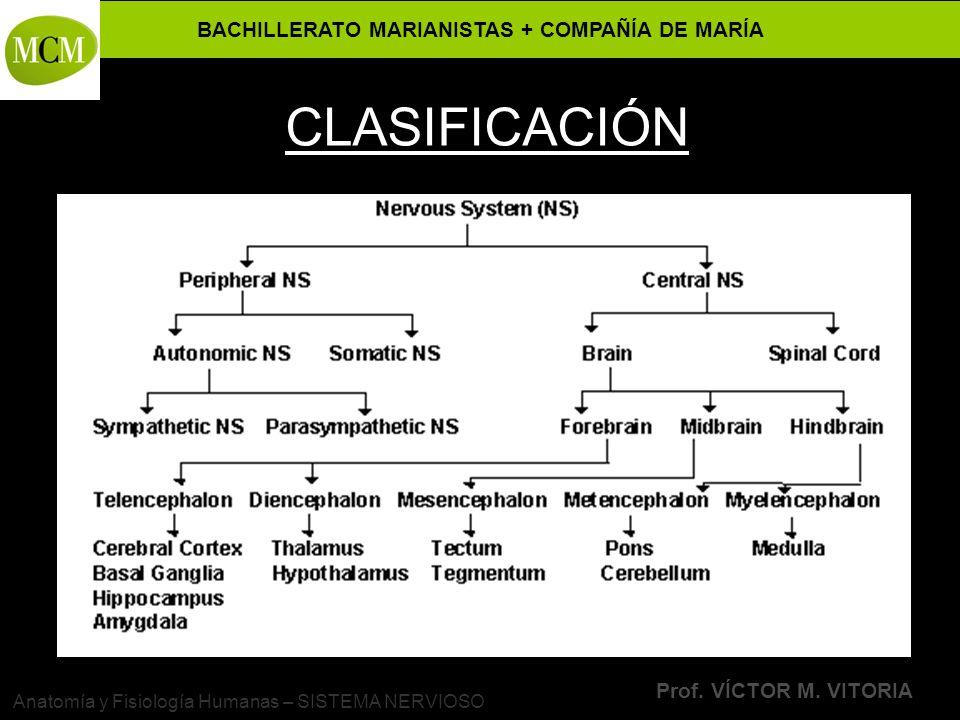BACHILLERATO MARIANISTAS + COMPAÑÍA DE MARÍA Prof. VÍCTOR M. VITORIA Anatomía y Fisiología Humanas – SISTEMA NERVIOSO CLASIFICACIÓN