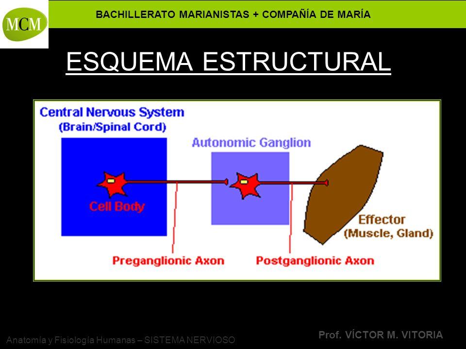 BACHILLERATO MARIANISTAS + COMPAÑÍA DE MARÍA Prof. VÍCTOR M. VITORIA Anatomía y Fisiología Humanas – SISTEMA NERVIOSO ESQUEMA ESTRUCTURAL