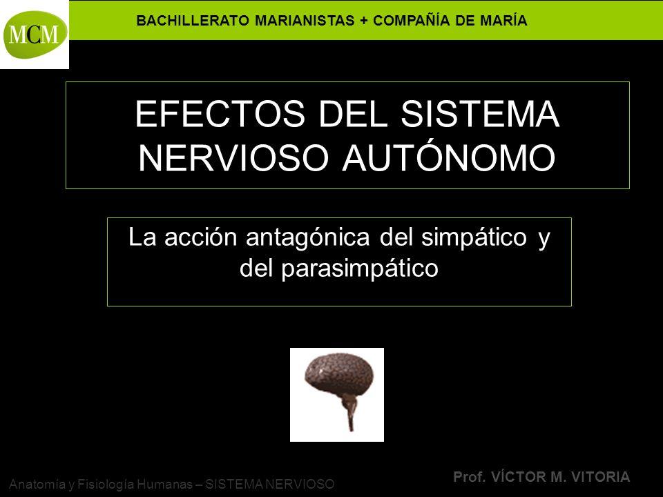 BACHILLERATO MARIANISTAS + COMPAÑÍA DE MARÍA Prof. VÍCTOR M. VITORIA Anatomía y Fisiología Humanas – SISTEMA NERVIOSO EFECTOS DEL SISTEMA NERVIOSO AUT