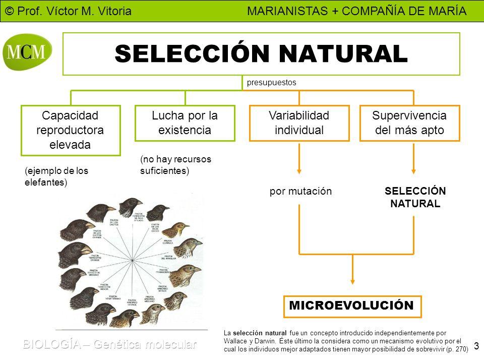 © Prof. Víctor M. Vitoria MARIANISTAS + COMPAÑÍA DE MARÍA 3 SELECCIÓN NATURAL Capacidad reproductora elevada Lucha por la existencia Variabilidad indi