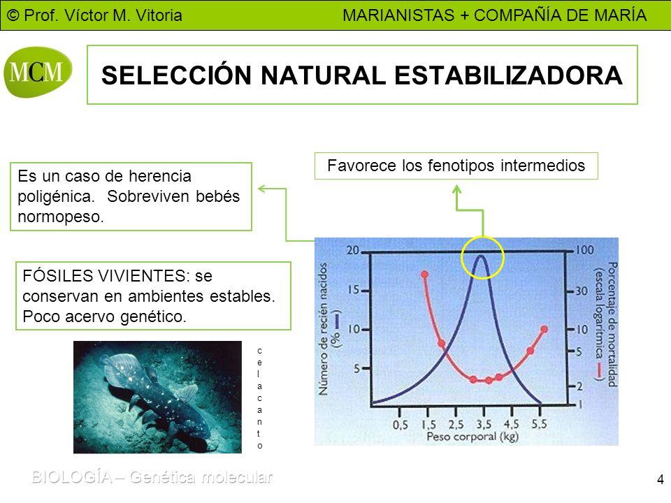 © Prof. Víctor M. Vitoria MARIANISTAS + COMPAÑÍA DE MARÍA SELECCIÓN NATURAL ESTABILIZADORA 4 Favorece los fenotipos intermedios Es un caso de herencia