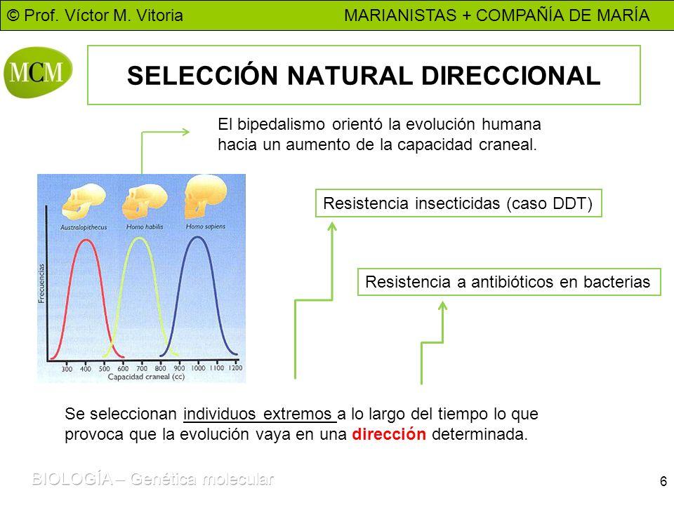 © Prof. Víctor M. Vitoria MARIANISTAS + COMPAÑÍA DE MARÍA SELECCIÓN NATURAL DIRECCIONAL 6 El bipedalismo orientó la evolución humana hacia un aumento