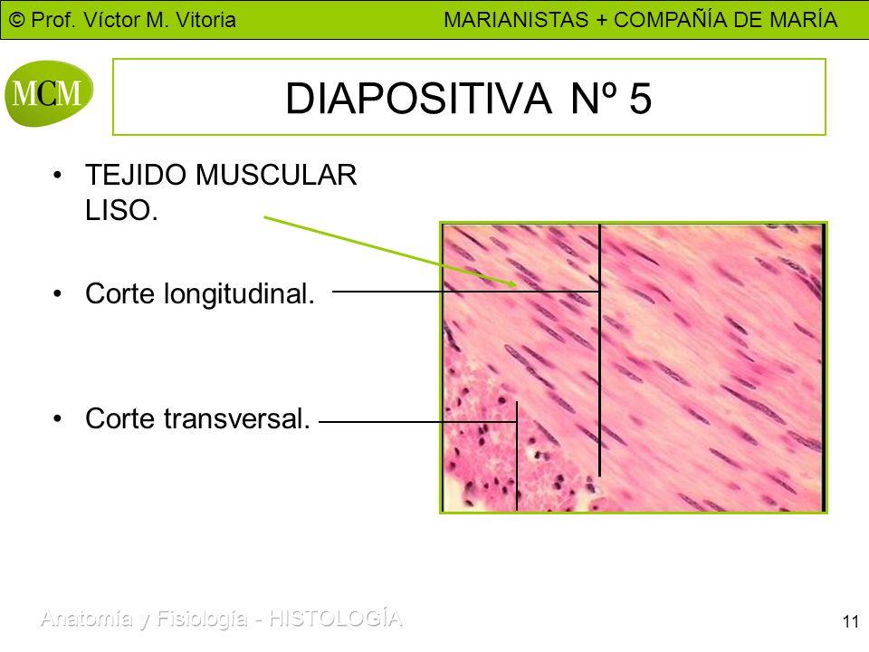 © Prof. Víctor M. Vitoria MARIANISTAS + COMPAÑÍA DE MARÍA 11 DIAPOSITIVA Nº 5 TEJIDO MUSCULAR LISO. Corte longitudinal. Corte transversal.