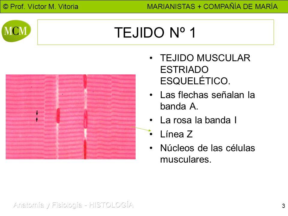 © Prof. Víctor M. Vitoria MARIANISTAS + COMPAÑÍA DE MARÍA 3 TEJIDO Nº 1 TEJIDO MUSCULAR ESTRIADO ESQUELÉTICO. Las flechas señalan la banda A. La rosa