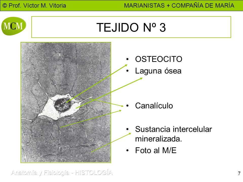 © Prof. Víctor M. Vitoria MARIANISTAS + COMPAÑÍA DE MARÍA 7 TEJIDO Nº 3 OSTEOCITO Laguna ósea Canalículo Sustancia intercelular mineralizada. Foto al