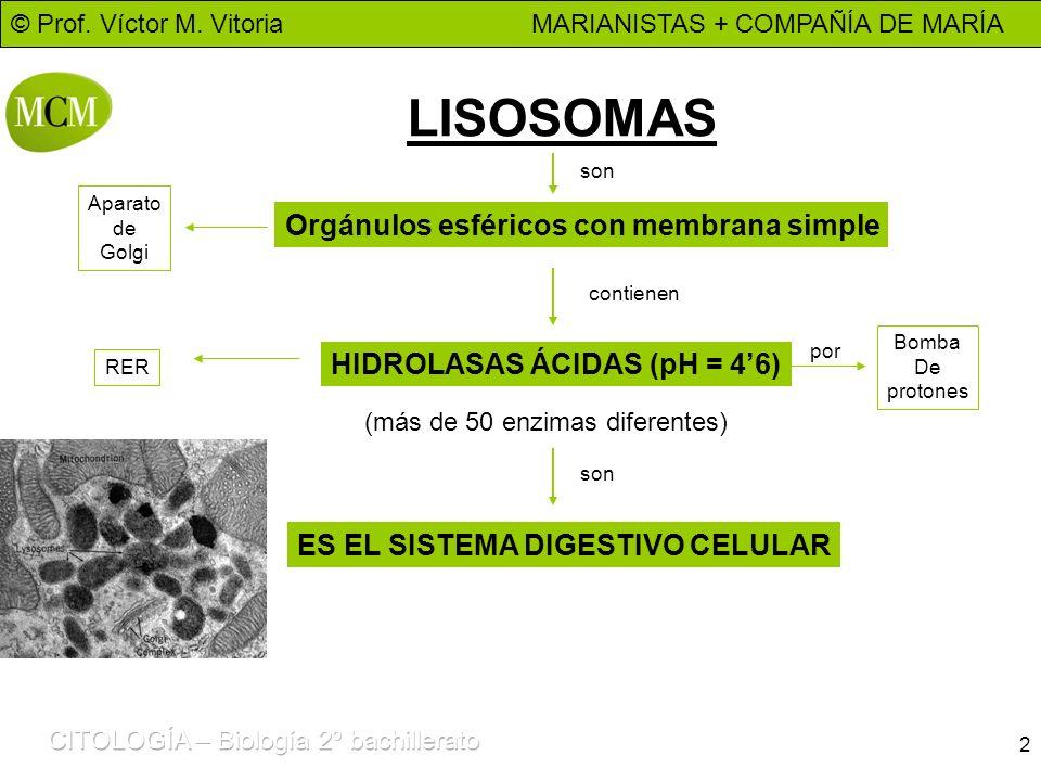© Prof. Víctor M. Vitoria MARIANISTAS + COMPAÑÍA DE MARÍA 2 LISOSOMAS Orgánulos esféricos con membrana simple HIDROLASAS ÁCIDAS (pH = 46) son contiene