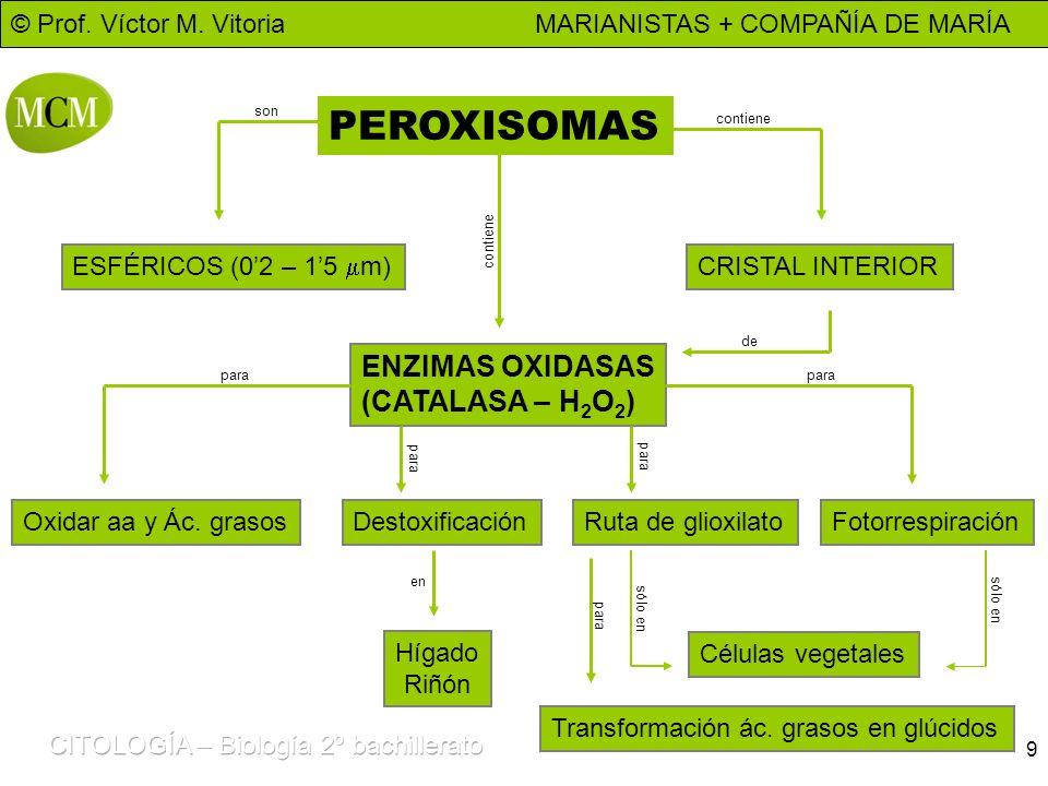 © Prof. Víctor M. Vitoria MARIANISTAS + COMPAÑÍA DE MARÍA 9 PEROXISOMAS ESFÉRICOS (02 – 15 m) ENZIMAS OXIDASAS (CATALASA – H 2 O 2 ) CRISTAL INTERIOR