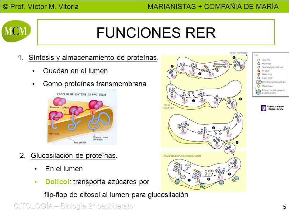 © Prof. Víctor M. Vitoria MARIANISTAS + COMPAÑÍA DE MARÍA 5 FUNCIONES RER 1.Síntesis y almacenamiento de proteínas. Quedan en el lumen Como proteínas
