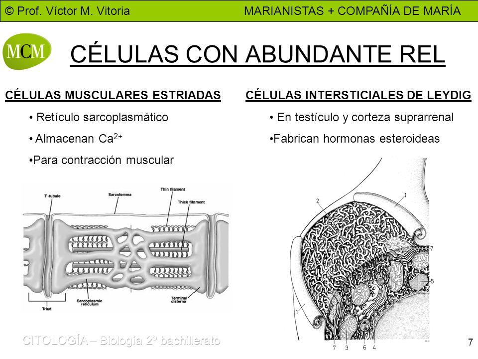 © Prof. Víctor M. Vitoria MARIANISTAS + COMPAÑÍA DE MARÍA 7 CÉLULAS CON ABUNDANTE REL CÉLULAS MUSCULARES ESTRIADAS Retículo sarcoplasmático Almacenan