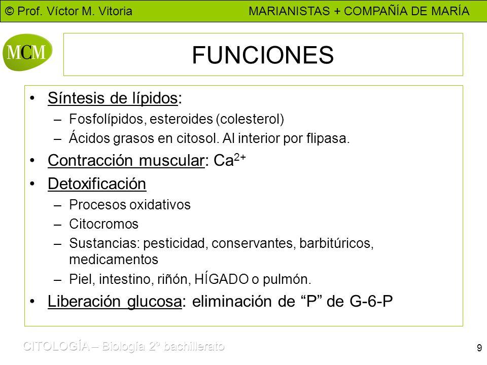 © Prof. Víctor M. Vitoria MARIANISTAS + COMPAÑÍA DE MARÍA 9 FUNCIONES Síntesis de lípidos: –Fosfolípidos, esteroides (colesterol) –Ácidos grasos en ci