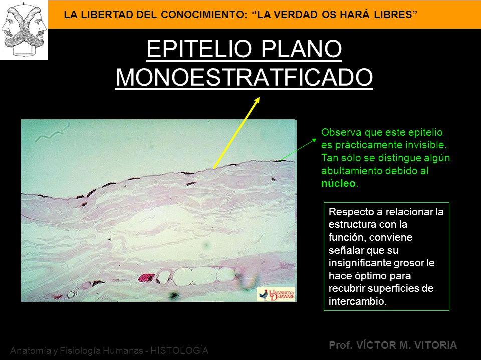 LA LIBERTAD DEL CONOCIMIENTO: LA VERDAD OS HARÁ LIBRES Prof. VÍCTOR M. VITORIA Anatomía y Fisiología Humanas - HISTOLOGÍA EPITELIO PLANO MONOESTRATFIC