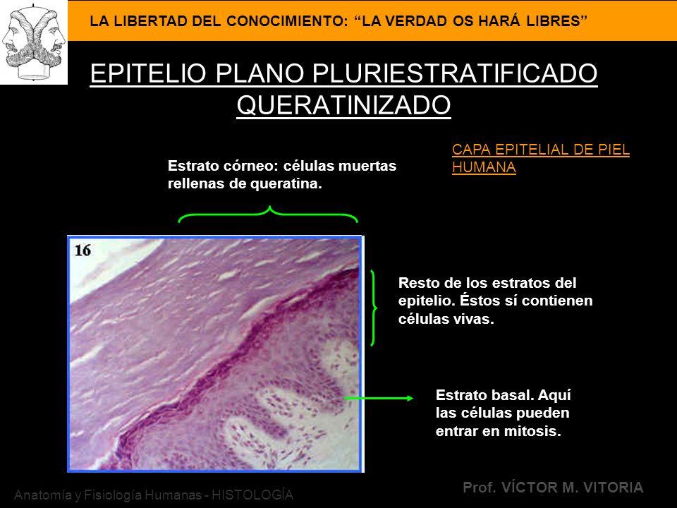 LA LIBERTAD DEL CONOCIMIENTO: LA VERDAD OS HARÁ LIBRES Prof. VÍCTOR M. VITORIA Anatomía y Fisiología Humanas - HISTOLOGÍA EPITELIO PLANO PLURIESTRATIF