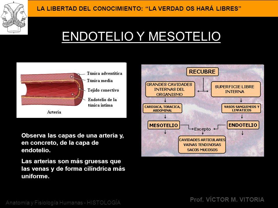 LA LIBERTAD DEL CONOCIMIENTO: LA VERDAD OS HARÁ LIBRES Prof. VÍCTOR M. VITORIA Anatomía y Fisiología Humanas - HISTOLOGÍA ENDOTELIO Y MESOTELIO Observ