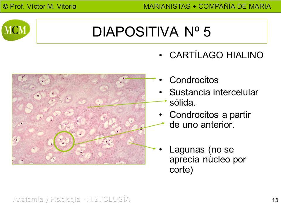 © Prof. Víctor M. Vitoria MARIANISTAS + COMPAÑÍA DE MARÍA 13 DIAPOSITIVA Nº 5 CARTÍLAGO HIALINO Condrocitos Sustancia intercelular sólida. Condrocitos