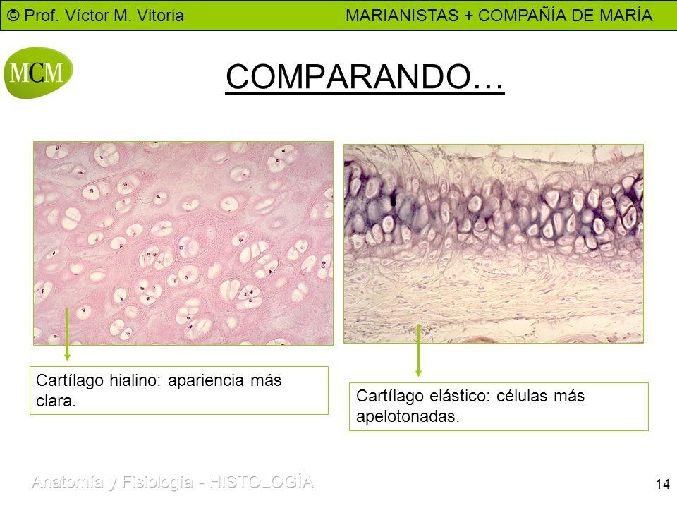 © Prof. Víctor M. Vitoria MARIANISTAS + COMPAÑÍA DE MARÍA 14 COMPARANDO… Cartílago elástico: células más apelotonadas. Cartílago hialino: apariencia m